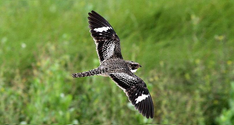 Nighthawk Migration - Meadowbrook Log Cabin