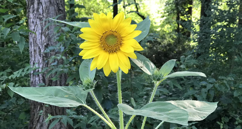 Sunflower Volunteer near Meadowbrook Log Cabin