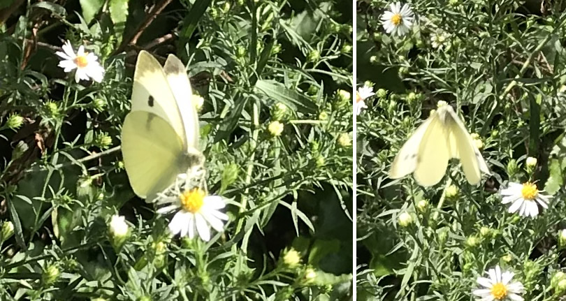 Small Cabbage White Butterfly near Meadowbrook Log Cabin