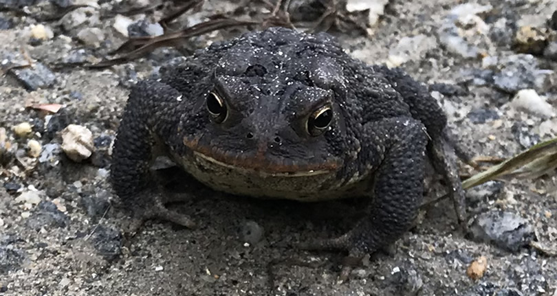 Southern Toad – Nature Walk Near Meadowbrook Log Cabin