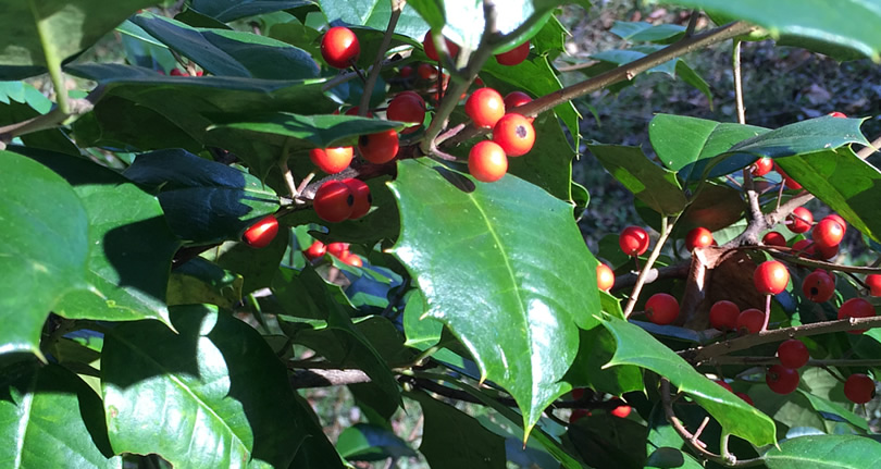 American Holly - Nature Walk around Meadowbrook Log Cabin
