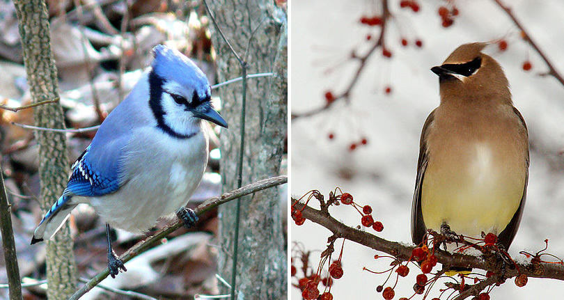 Cedar Waxwing photo by Cheep Shot and Blue Jay photo by Ken Thomas - Winter Birds Near Meadowbrook Log Cabin