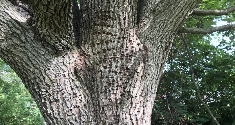 Woodpecker Holes in a Tree – Nature Walk – Meadowbrook Log Cabin