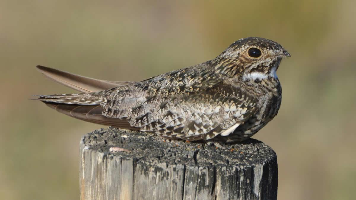 Nighthawk – See the tiny little beak? Photo by Andy Reago & Chrissy McClarren - Nighthawk Migration - Meadowbrook Log Cabin