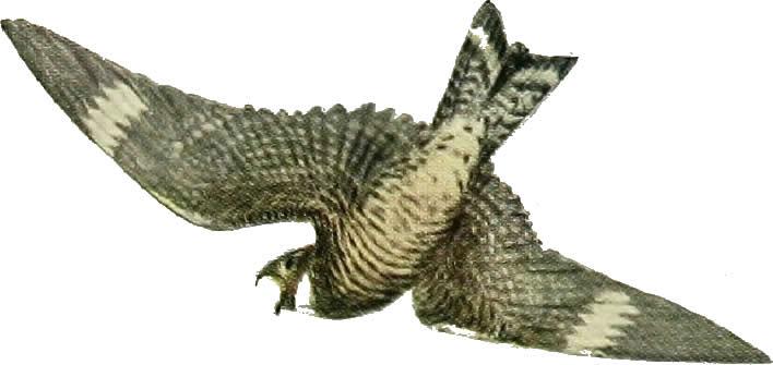 Nighthawk flying around eating bugs - Nighthawk Migration - Meadowbrook Log Cabin