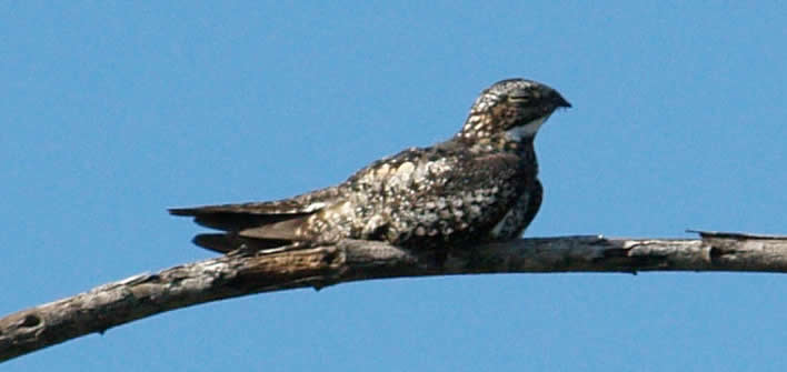 Nighthawks perch parallel to the branch Photo by Chrharshaw - Nighthawk Migration - Meadowbrook Log Cabin