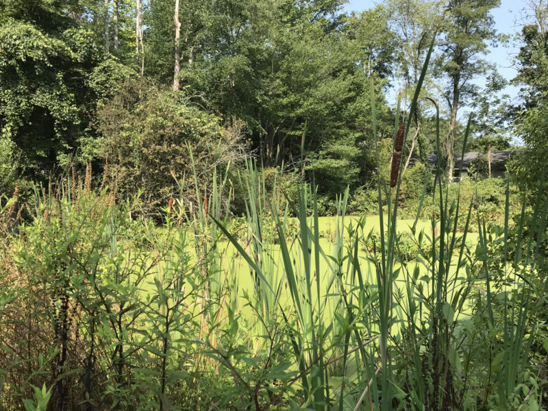 Cattails at Somerset Swamp – Meadowbrook Log Cabin – Hendersonville NC