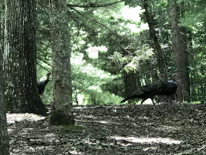 Eastern Wild Turkeys near Meadowbrook Log Cabin