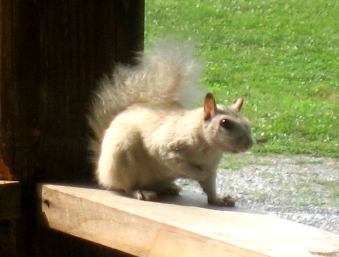 White Squirrel at Meadowbrook Log Cabin in Druid Hills, Hendersonville, NC