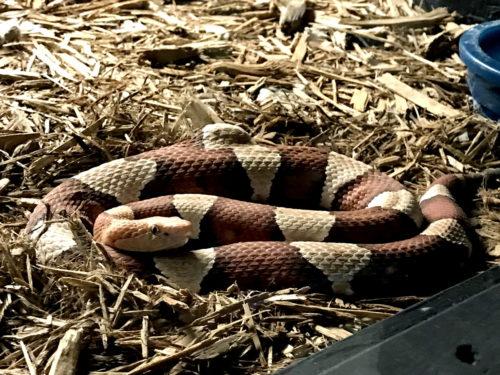 Broadband Copperhead - Serpentarium Magic – near Meadowbrook Log Cabin – Hendersonville, NC