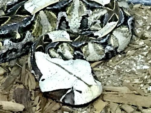 East Aftican Gaboon Viper - Serpentarium Magic – near Meadowbrook Log Cabin – Hendersonville, NC