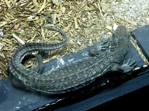 Savannah Monitor Lizard - Serpentarium Magic – near Meadowbrook Log Cabin – Hendersonville, NC