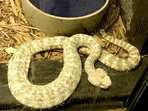 White Speckled Rattlesnake - Serpentarium Magic – near Meadowbrook Log Cabin – Hendersonville, NC