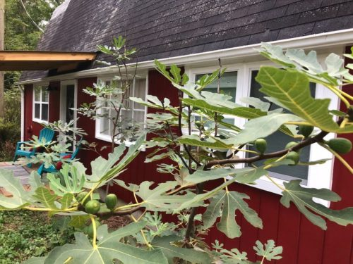 Figs growing around the Apple Barn - Apple Barn Cottage in Flat Rock