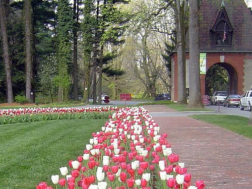 Tulips line the drive as you enter the Biltmore Estate during Biltmore Blooms March 20th till through May 24th - Biltmore Blooms: Tulips in the Walled Garden - Things to do near Meadowbrook Log Cabin