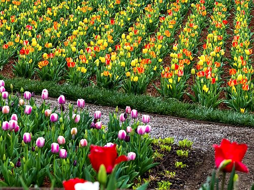 The Walled Garden has welcomed tulips every spring for nearly a century. - Biltmore Blooms: Tulips in the Walled Garden - Things to do near Meadowbrook Log Cabin