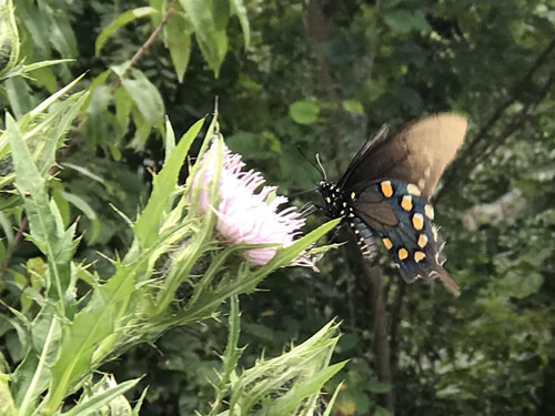 Black Swallowtail on Thistle at Jump Off Rock near Meadowbrook Log Cabin