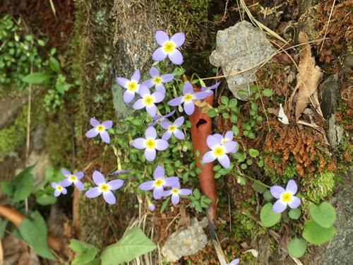 Bluets by the Pisgah Inn – Things to do near Meadowbrook Log Cabin