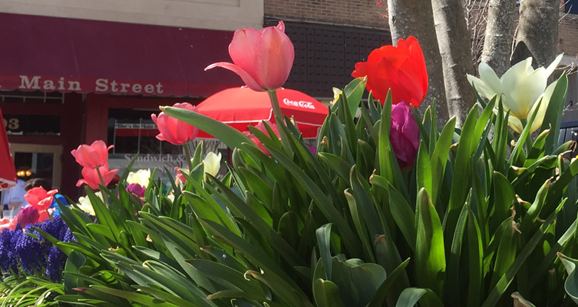 Thousands of Tulips Welcome Spring in Hendersonville – Things to do near Meadowbrook Log Cabin