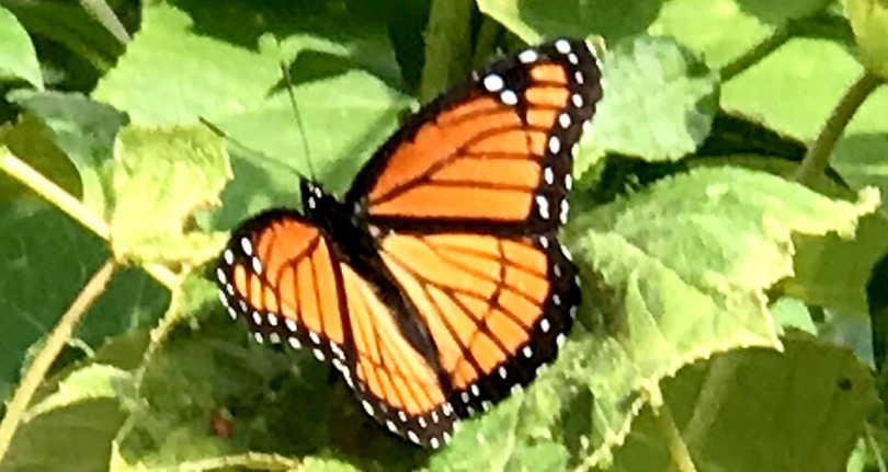 Viceroy Butterfly – Nature Walk around Meadowbrook Log Cabin