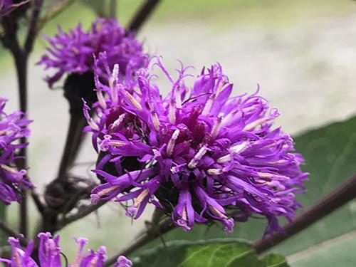 Joe-Pye Weed blooms attract bees and butterflies. - Joe-Pye Weed at Meadowbrook Log Cabin