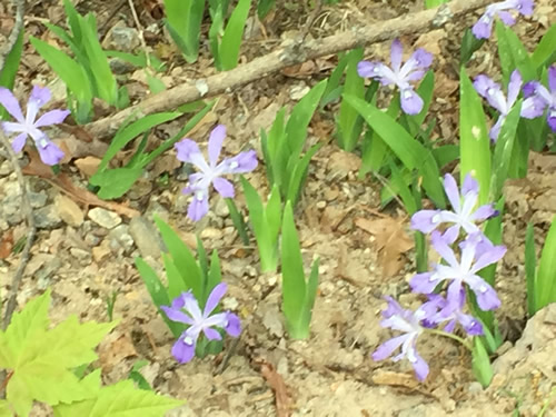 Dwarf Crested Iris on the side of the gravel road that connects Mills River Recreation Area with the Blue Ridge Parkway. - Wild Irises in Pisgah Forest – Things to do near Meadowbrook Log Cabin May