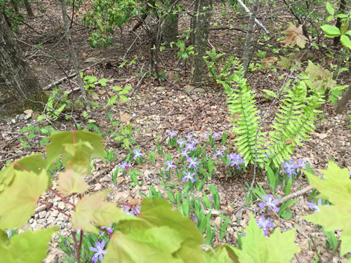 Dwarf Crested Iris in Pisgah National Forest - Wild Irises in Pisgah Forest – Things to do near Meadowbrook Log Cabin May