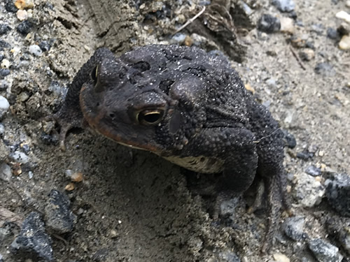 Southern Toads have large knobs on its pronounced cranial crests. – Nature Walk Near Meadowbrook Log Cabin