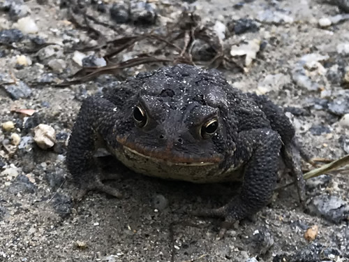 Southern Toad - I think it is a female. Males have a dark throat. It doesn't looks like her throat is dark to me. – Nature Walk Near Meadowbrook Log Cabin