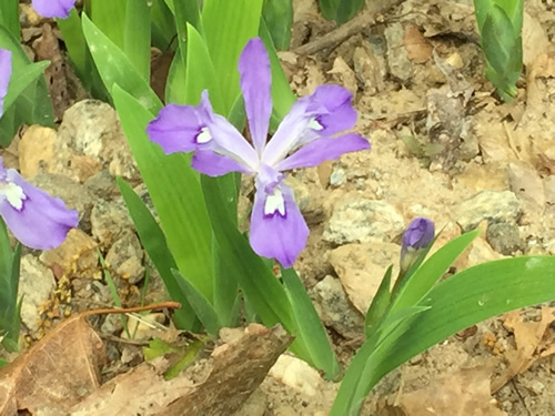 Dwarf Crested Iris (Iris cristata) - Wild Irises in Pisgah Forest – Things to do near Meadowbrook Log Cabin