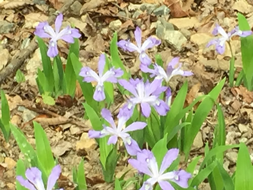 Dwarf Crested Iris have really short stems - Wild Irises in Pisgah Forest – Things to do near Meadowbrook Log Cabin