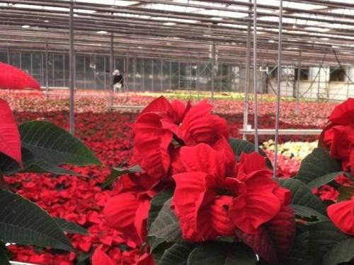 Poinsettias at VanWingerden Greenhouses - Open House at VanWingerden Greenhouses – Things to do near Meadowbrook Log Cabin in Hendersonville, NC