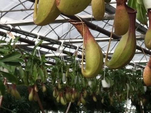 Pitcher Plants at VanWingerden Greenhouses - Open House at VanWingerden Greenhouses – Things to do near Meadowbrook Log Cabin in Hendersonville, NC