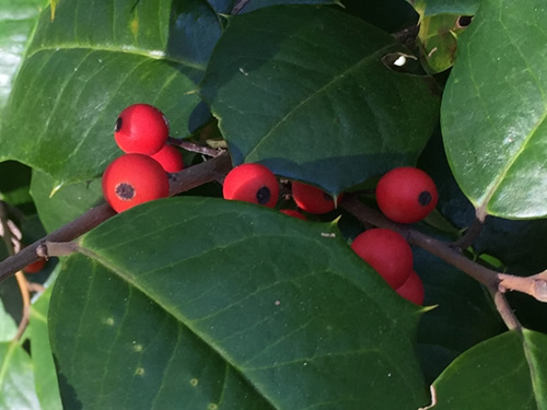Only female holly have fruit - American Holly - Nature Walk around Meadowbrook Log Cabin