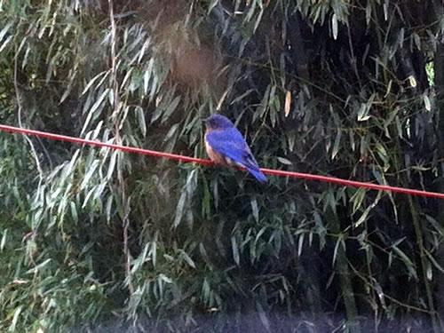 Blue Bird - Winter Birds Near Meadowbrook Log Cabin