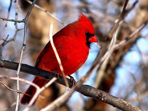 Cardinal Photo by E. RaheemWinter Birds Near Meadowbrook Log Cabin