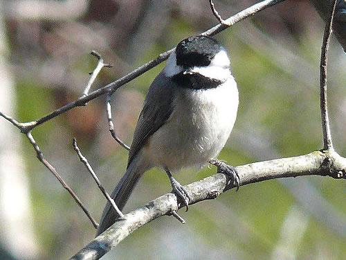 Carolina Chickadee Photo by Ken Thomas - Winter Birds Near Meadowbrook Log Cabin