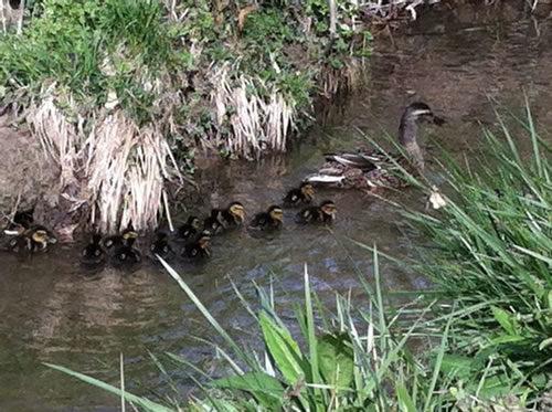 Mallard Ducks with her ducklings - Winter Birds Near Meadowbrook Log Cabin