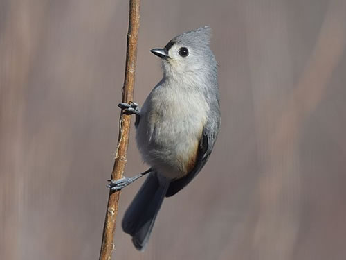Tufted Titmouse Photo by Andy Reago and Chrissy McClarren - Winter Birds Near Meadowbrook Log Cabin