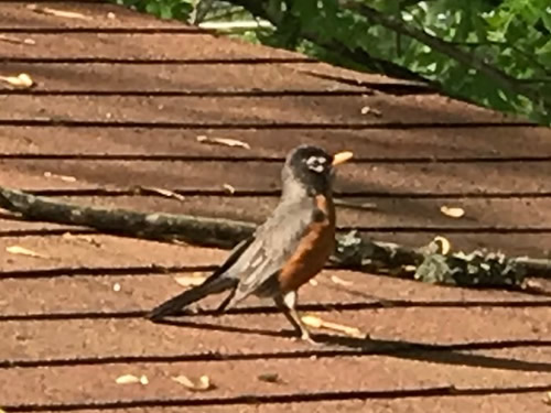 Zeeeeup! Peek! There is the robin, trying to get our attention. - Robin on the Porch at Meadowbrook Log Cabin