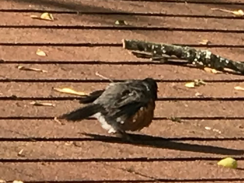 The robin tried to draw us away from the nest. - Robin on the Porch at Meadowbrook Log Cabin