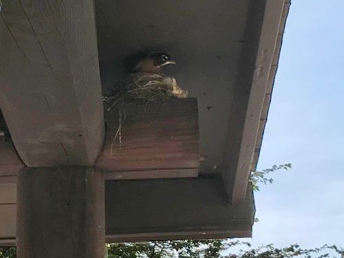 A robin has built a nest on the porch of the cabin again this year. - Robin on the Porch at Meadowbrook Log Cabin