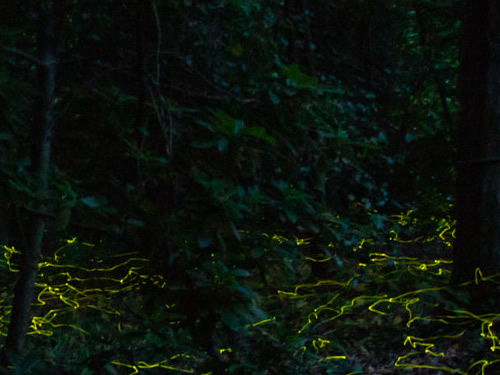 Fireflies above the leaf litter at the edge of a forest. - Firefly Season at Meadowrook Log Cabin