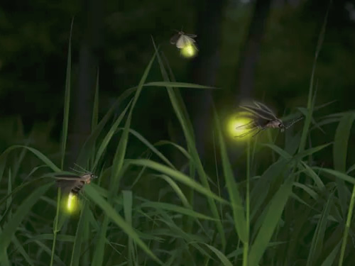 Fireflies in the grass - Firefly Season at Meadowrook Log Cabin
