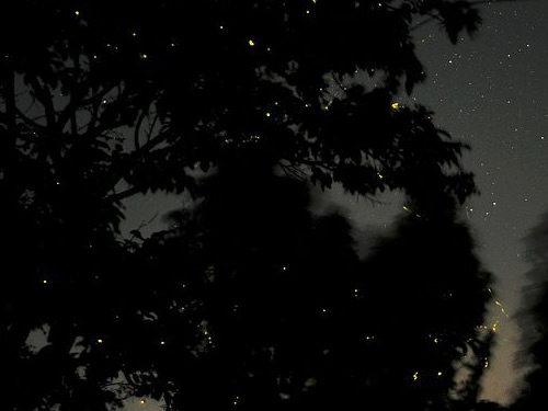 Christmas Tree Lightning Bugs high in the trees - Firefly Season at Meadowrook Log Cabin