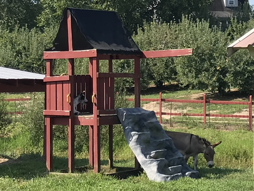 Goat and donkey enjoying the shade on a hot day at Grandad's Apples