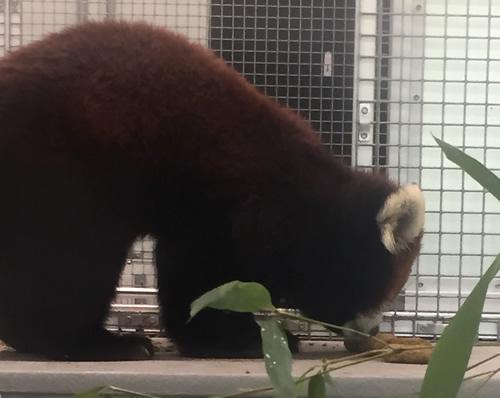 Red Panda having breakfast